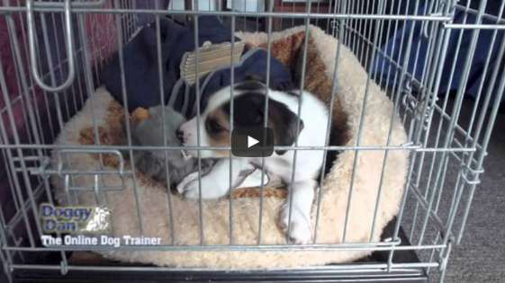 Watch professional dog trainer crate training his puppy